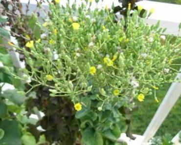 Harvesting Lettuce Seed – Survivalist Stockpile – Vegetable Garden Preparedness