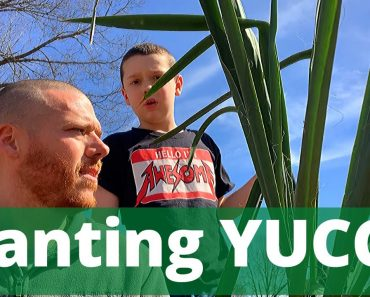Homestead Plants – YUCCA – Planting and Uses (Prepper, Polyculture, Perennial) – Wild Edibles