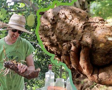 My Favorite Survival Gardening Calorie Crop: The Yam Harvest!