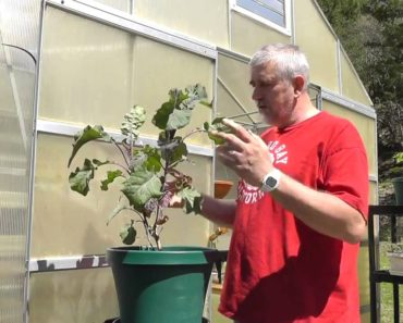 Survival Gardening – The Perennial Tree Collard