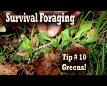 Tip 10 Survival Foraging for Food: Picking Greens! Wild Plant Gathering Prepping Hunting Eat