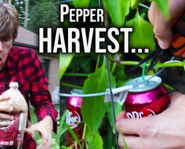 traumatic front yard Pepper garden harvest